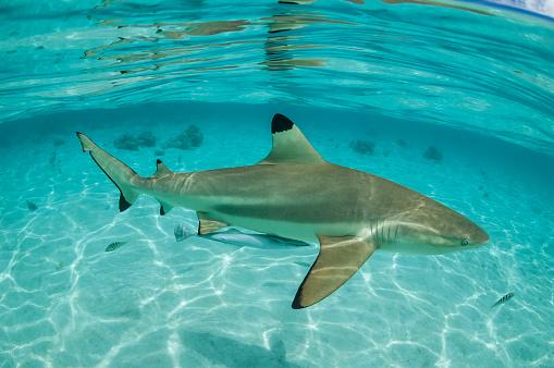 熱帯魚「Blacktip のサメ (メジロザメ属 limbatus)」:スマホ壁紙(10)
