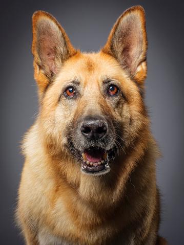 Headshot「Purebred German Shepherd Dog」:スマホ壁紙(11)