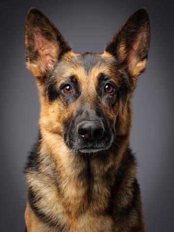 Animal Eye「Purebred German Shepherd Dog」:スマホ壁紙(5)