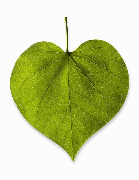 Heart-shaped leaf on white background, studio shot:スマホ壁紙(壁紙.com)