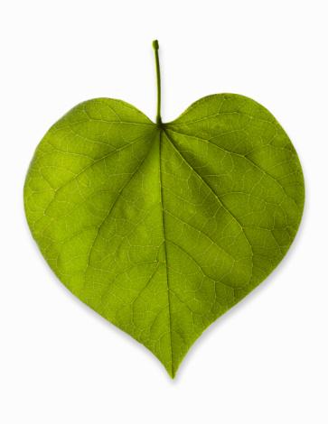 Deciduous tree「Heart-shaped leaf on white background, studio shot」:スマホ壁紙(18)
