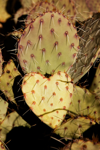 Prickly Pear Cactus「heart-shaped prickly-pear cactus」:スマホ壁紙(2)