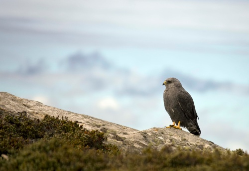 Falkland Islands「Falkland variable hawk on rocks」:スマホ壁紙(9)