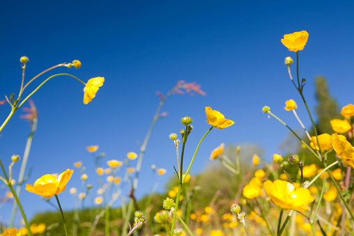 Uncultivated「Flowering buttercups」:スマホ壁紙(18)