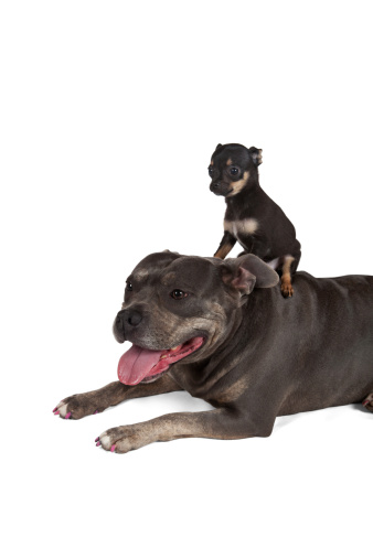Chihuahua - Dog「Big dog Little puppy best friends」:スマホ壁紙(17)