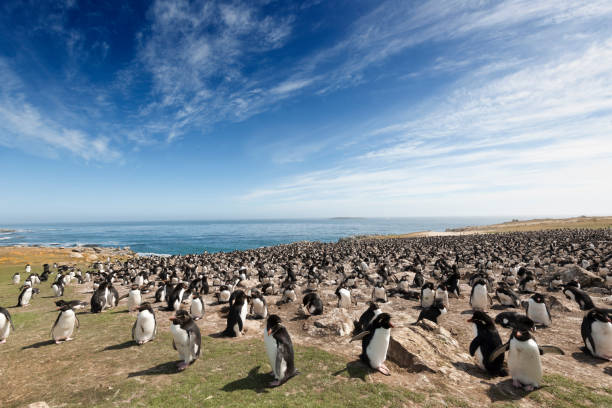 Large Rockhopper Penguin Colony on the Falkland Islands:スマホ壁紙(壁紙.com)