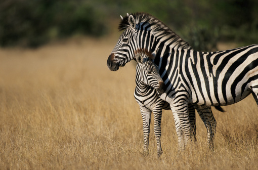 Foal - Young Animal「Zebra (Eqqus burchelli) with colt, Savuti Marsh, Botswana」:スマホ壁紙(3)