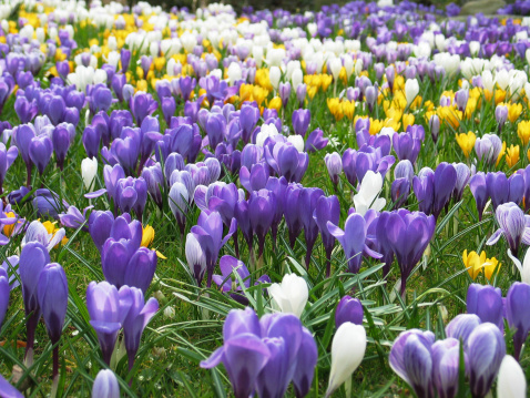 Crocus「Lawn full of purple, white and yellow crocus in spring」:スマホ壁紙(11)