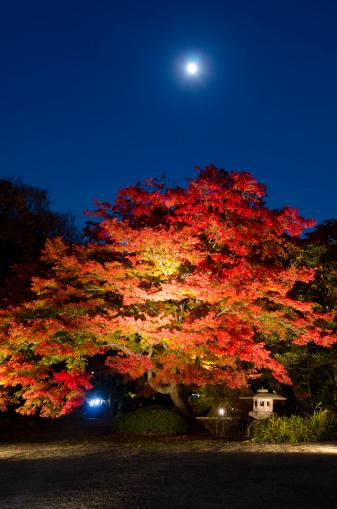 Japanese Maple「Momiji in night」:スマホ壁紙(19)