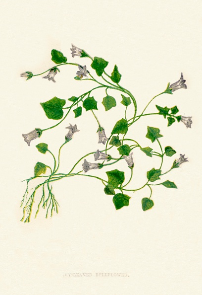 Intricacy「Ivy-Leaved Bellflower, c1891, (1891)」:写真・画像(0)[壁紙.com]