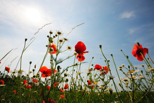 花畑「花のフィールドに低太陽の光と空」:スマホ壁紙(18)