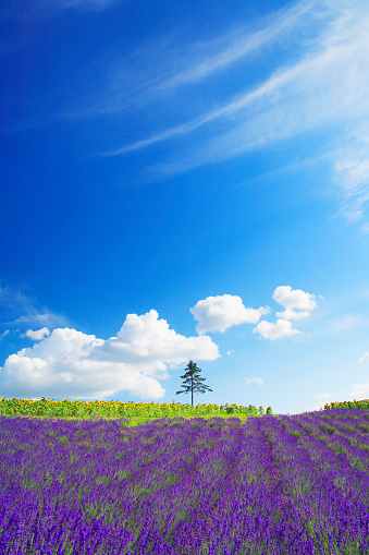 ひまわり「Field of flowers, Hokkaido Prefecture, Japan」:スマホ壁紙(12)
