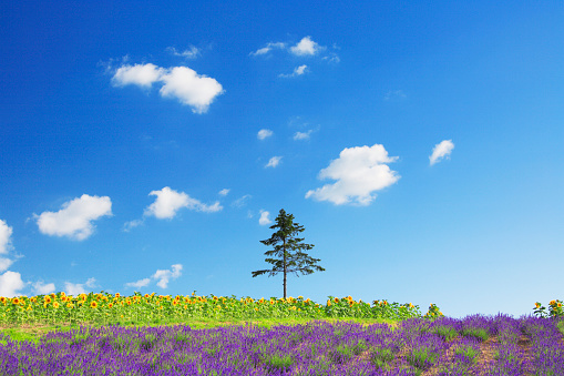 ひまわり「Field of flowers, Hokkaido Prefecture, Japan」:スマホ壁紙(3)