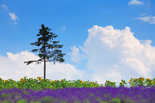 ひまわり「Field of flowers, Hokkaido Prefecture, Japan」:スマホ壁紙(11)