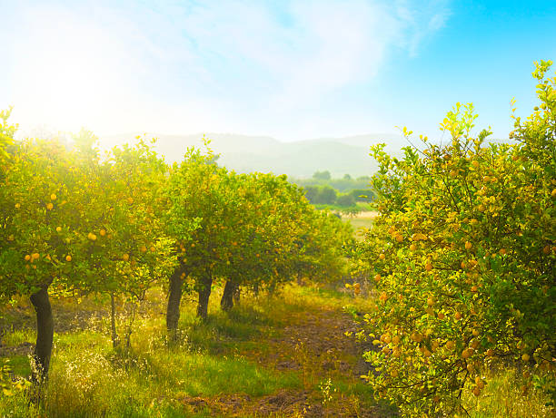 Lemon orchard:スマホ壁紙(壁紙.com)