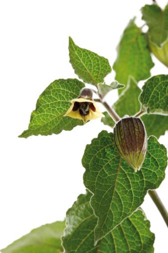Chinese Lantern「Physalis plant, close-up」:スマホ壁紙(2)