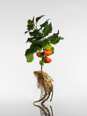 Chinese Lantern「Physalis plant with root, close-up」:スマホ壁紙(8)