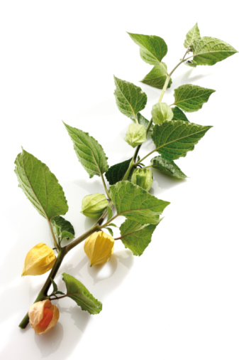 Chinese Lantern「Physalis plant (Physalis peruviana), elevated view」:スマホ壁紙(7)