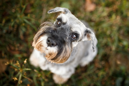Schnauzer「Cute dog looking up from above」:スマホ壁紙(2)