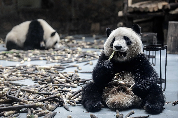 Bestpix「Chengdu Research Base Of Giant Panda Breeding」:写真・画像(18)[壁紙.com]
