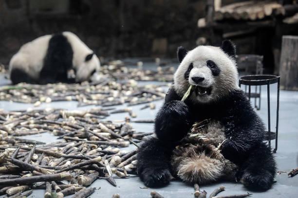 Chengdu Research Base Of Giant Panda Breeding:ニュース(壁紙.com)