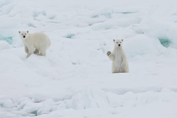 Twin baby polar bear cubs, one waving:スマホ壁紙(壁紙.com)