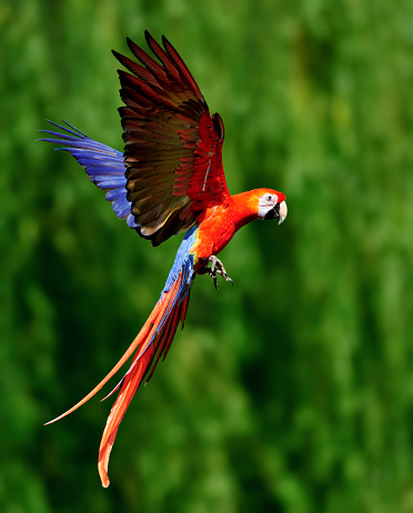 Amazon Rainforest「red scarlet macaw in flight」:スマホ壁紙(2)