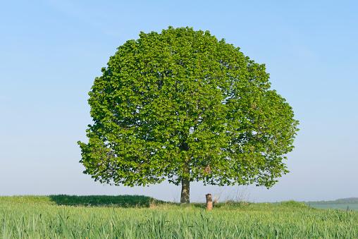 Single Tree「Solitude lime tree (Tilia) in meadow.」:スマホ壁紙(3)