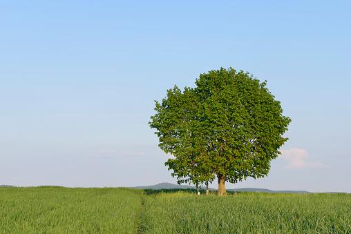 Single Tree「Solitude lime tree (Tilia) . Franconia, Bavaria, Germany.」:スマホ壁紙(1)