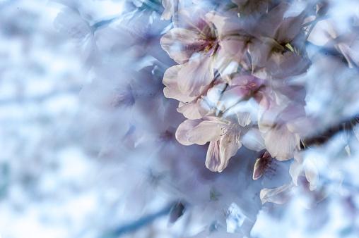 桜「Wind-blown cherry blossoms」:スマホ壁紙(13)