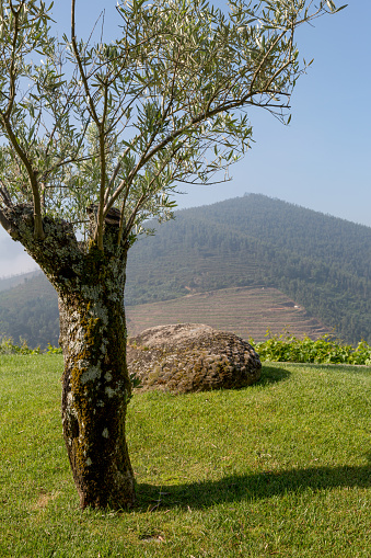 Tree「Olive tree in the Douro valley」:スマホ壁紙(15)
