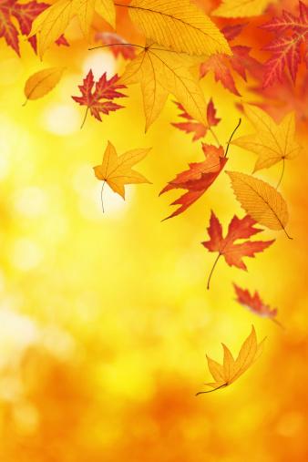 かえでの葉「Falling 秋の葉」:スマホ壁紙(10)