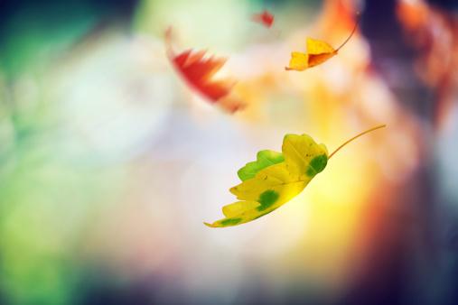 かえでの葉「Falling 秋の葉」:スマホ壁紙(1)