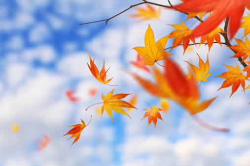 紅葉「Falling 秋の葉」:スマホ壁紙(6)