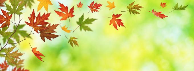紅葉「Falling 秋の葉のパノラマビュー」:スマホ壁紙(15)