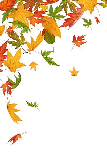 紅葉「Falling 秋の葉に白背景」:スマホ壁紙(12)