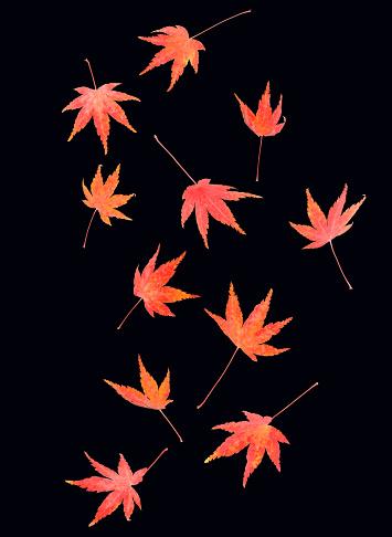 かえでの葉「Falling autumnal maple leaves against a black background.」:スマホ壁紙(19)