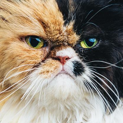ペルシャネコ「クローズアップのポートレート、ペルシャ猫」:スマホ壁紙(14)