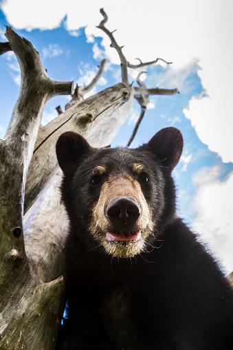Bear Cub「Close up portrait of Black bear cub (ursus americanus) captive at Alaska Wildlife Conservation Center」:スマホ壁紙(8)