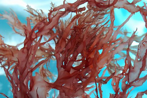Seaweed「Red seaweed blooms in clear turquoise water」:スマホ壁紙(9)