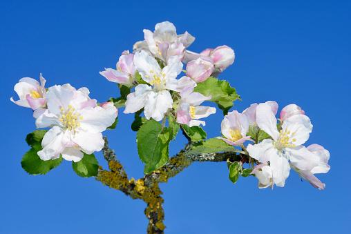 小枝「Blossom of Apple Tree (Malus domestica) against clear blue sky.」:スマホ壁紙(0)