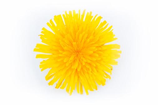 たんぽぽ「花のたんぽぽ」:スマホ壁紙(18)