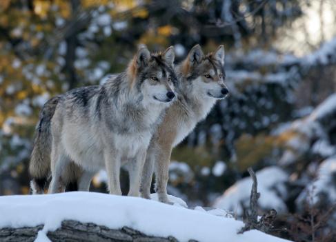 Wolf「Two Wolves」:スマホ壁紙(9)