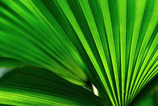 Frond「Palm Leaf」:スマホ壁紙(5)