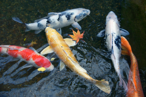 Carp「Carp swimming in pond, high angle view」:スマホ壁紙(2)