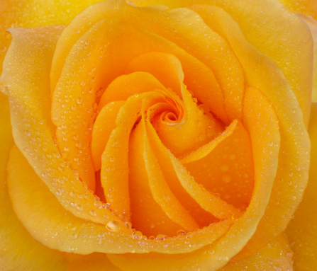 Haslemere「Furled rose petals at the centre of a yellow rose」:スマホ壁紙(9)
