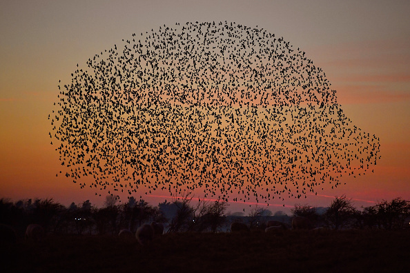 動物「Starling Murmurations In Scotland」:写真・画像(11)[壁紙.com]