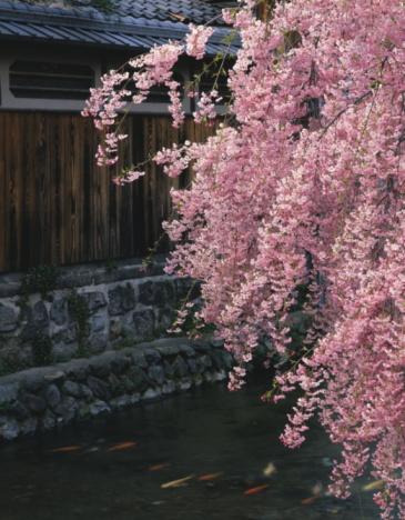 Carp「Shirakawa river, Gion, Kyoto Prefecture, Honshu, Japan」:スマホ壁紙(19)