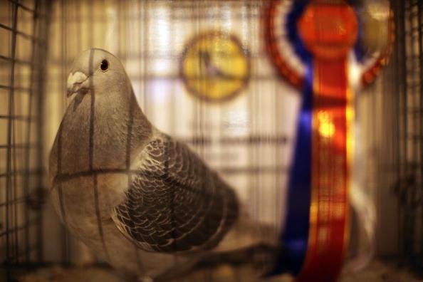 趣味・暮らし「Pigeon Fanciers Gather For Show Of The Year」:写真・画像(15)[壁紙.com]