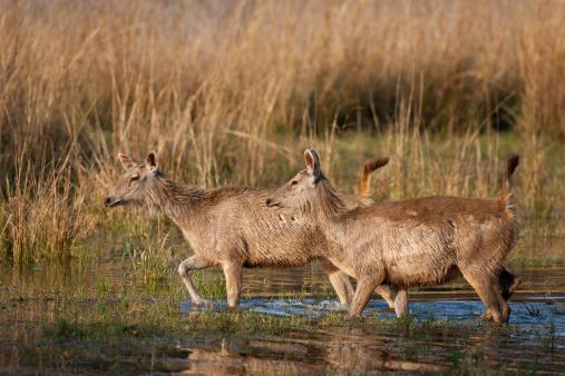 Ranthambore National Park「Sambar Deer at Ranthambhore, India」:スマホ壁紙(16)